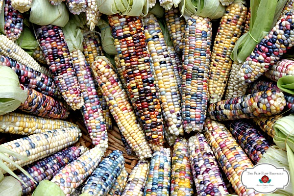 What is Glass Gem Corn? Growing Glass Gem corn is fun. It's such a bright, beautiful heirloom corn to grow. This Native American corn variety is truly one of the most beautiful that I've seen.