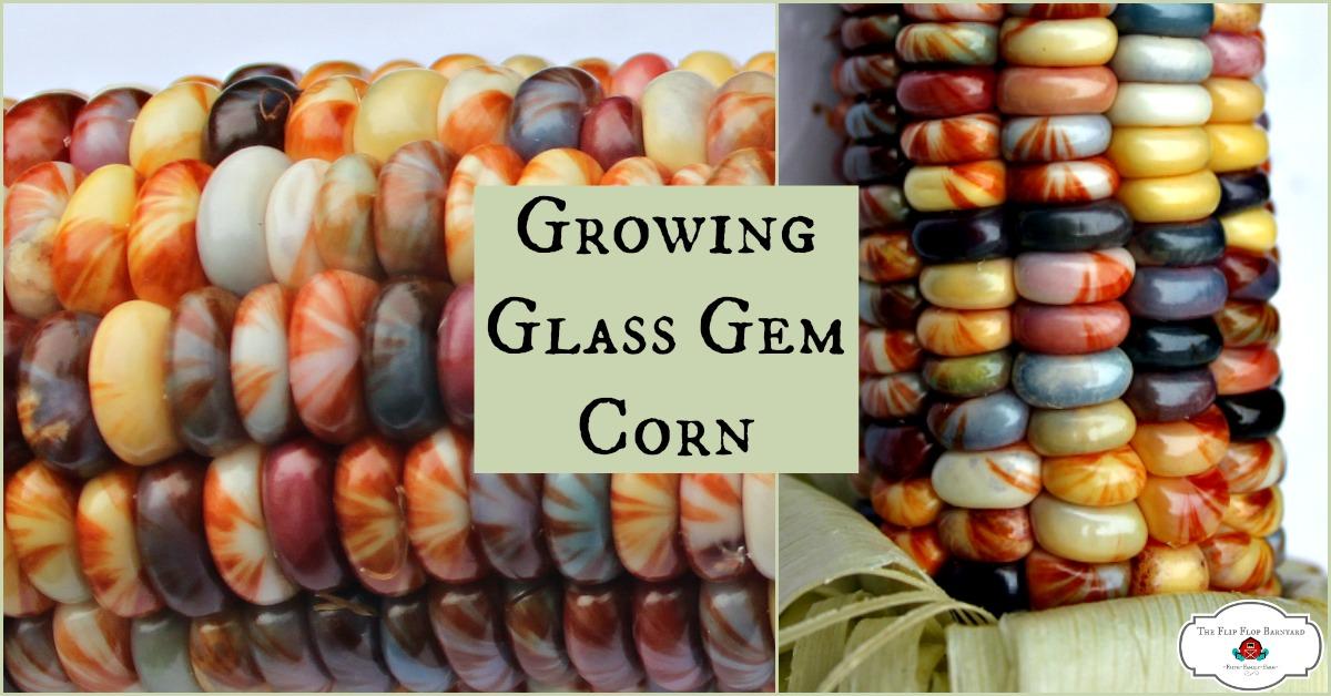 Growing Glass Gem Corn