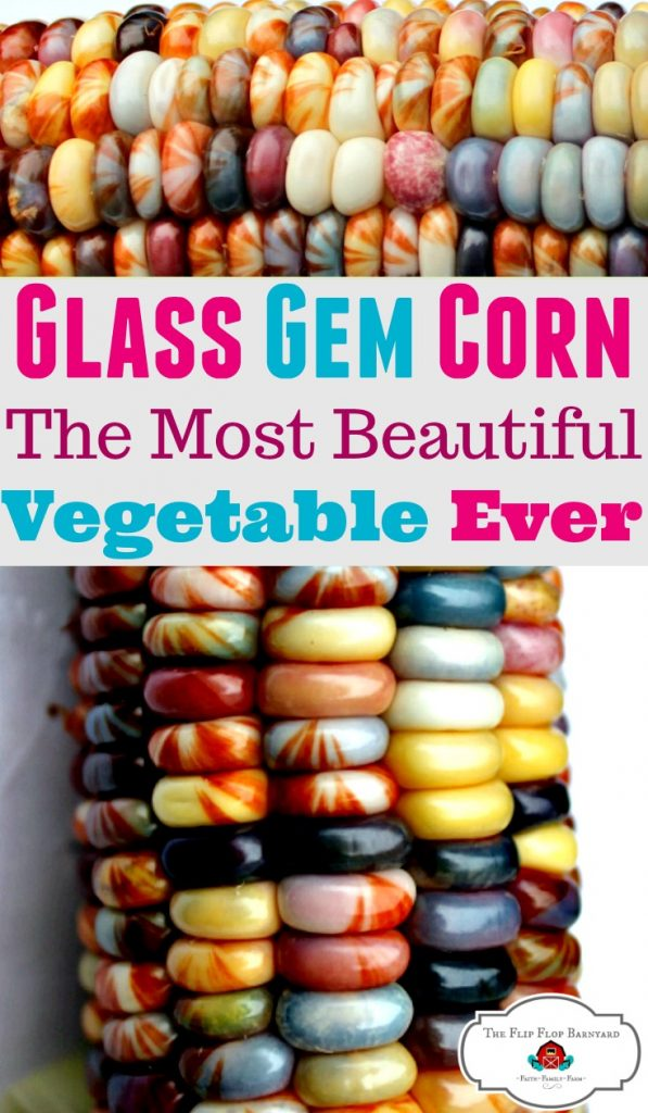 What Is Glass Gem Corn An Heirloom Native Seed The Flip Flop