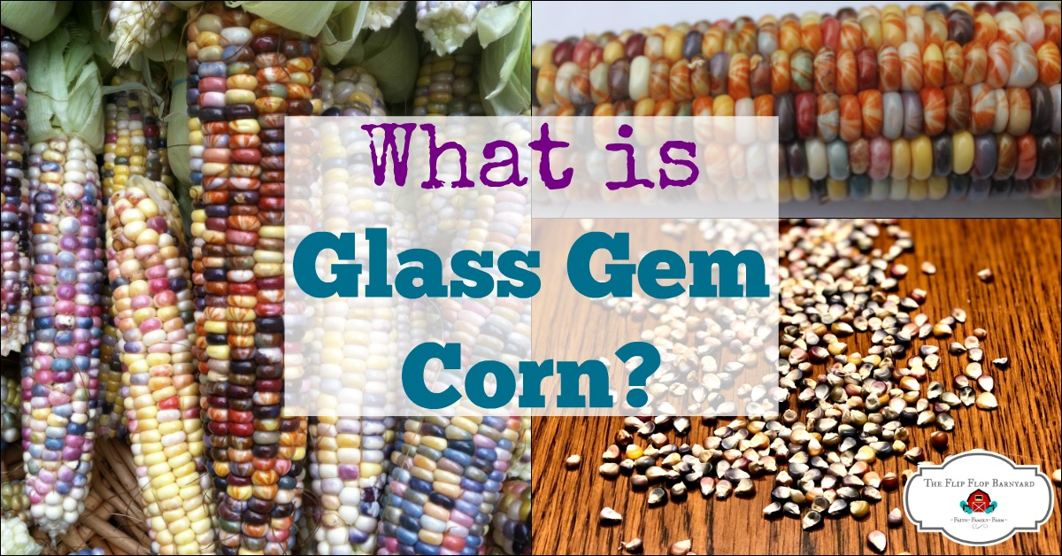 What is Glass Gem Corn