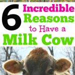 There are many reasons to have a family milk cow on the homestead. Have you thought about getting a dairy cow for your family? I love having fresh raw milk!