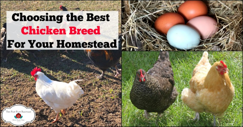 Choosing a chicken breed for your homestead or backyard flock doesn't have to be hard. Here are some breeds that are a great option depending on your needs,