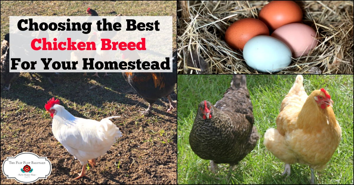 Choosing the BEST Chicken Breed For Your Homestead