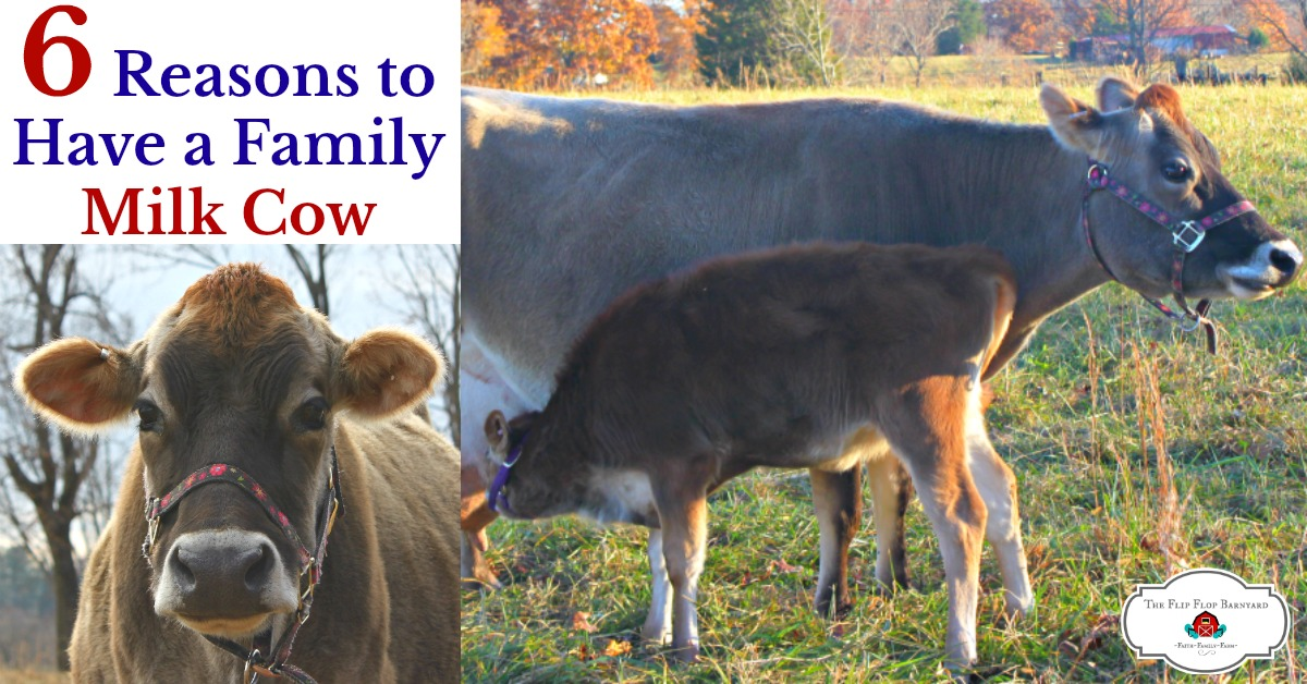 6 Incredible Reasons to Have a Family Milk Cow