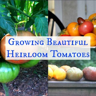 We grow heirloom tomatoes in our organic garden. Here's the what, why, how, and where about our organic heirloom tomatoes.