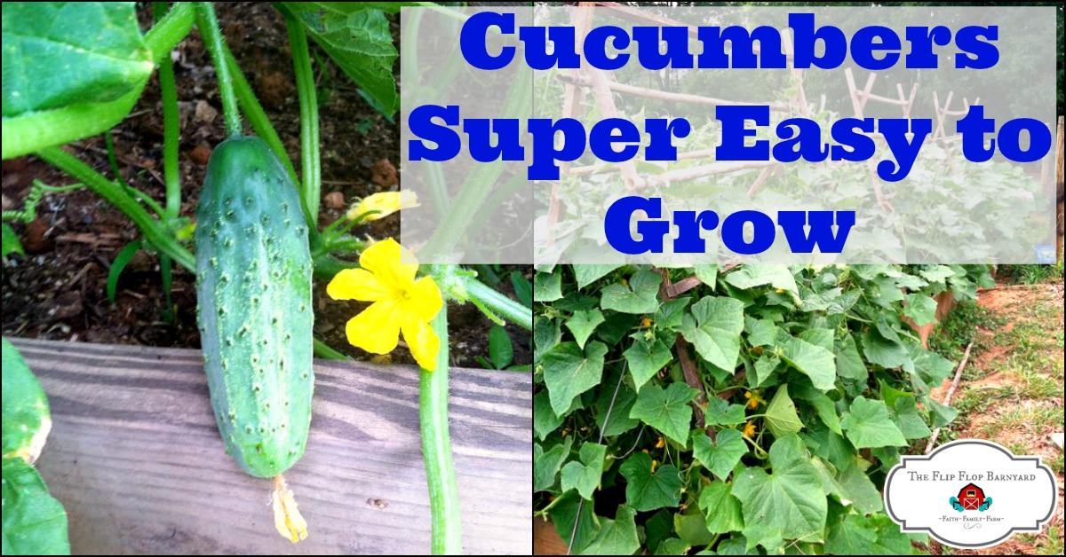 How to grow cucumbers in your garden. growing cucumbers is very easy. cucumbers are on my easy to grow vegetables list.