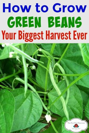 a photo of green beans growing on a plant