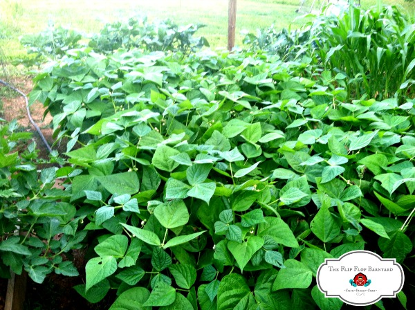 large green bean plants in a raised bed