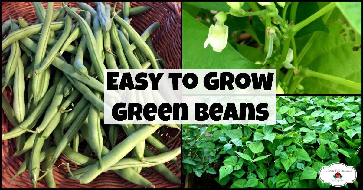 Want to learn how to grow green beans? They're an easy to grow vegetable for any garden. Beginner gardeners can grow green beans easily.