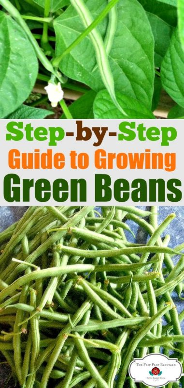 "a photo collage of green beans growing on a plant and a pile of harvested green beans with the words ""step by step guide to growing green beans"" in the center."