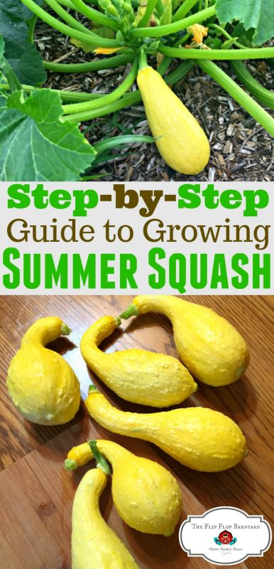 How to grow yellow summer squash. Yellow squash are easy to grow. Summer squash are a prolific garden vegetable. They definitely make my easy to grow vegetable list! I hope you'll learn how to grow yellow squash.