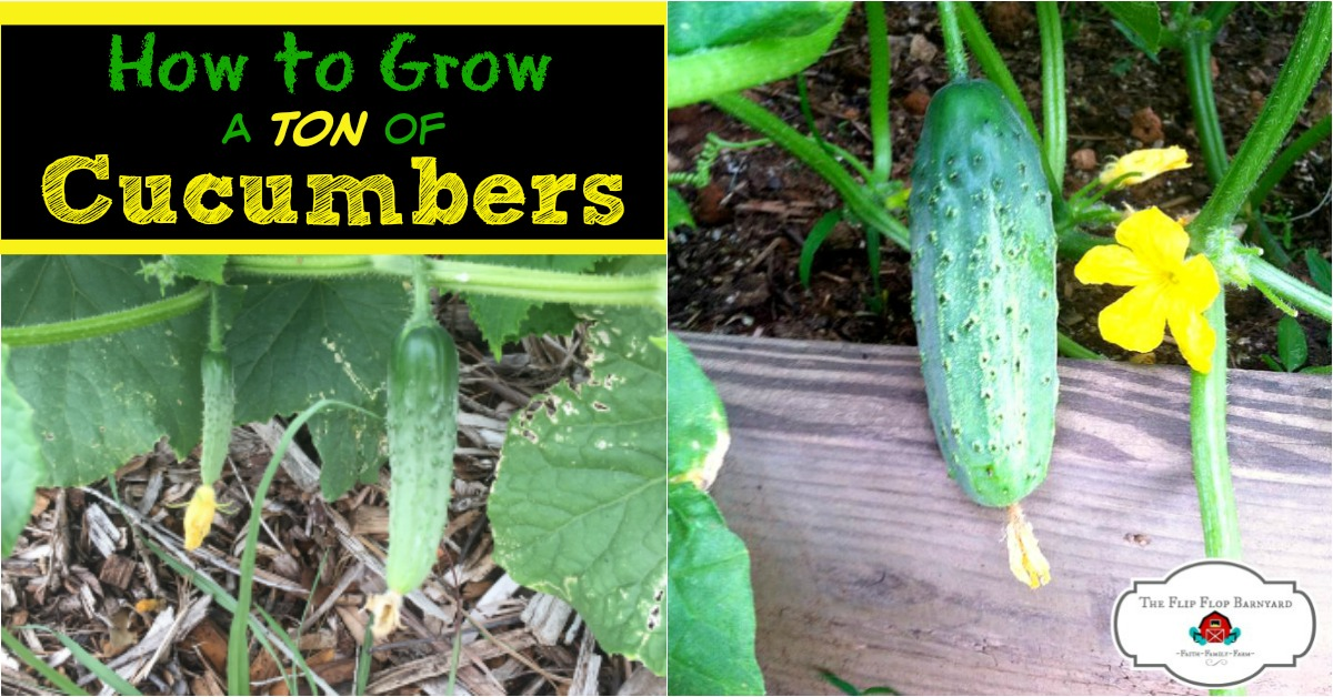 How to Grow Cucumbers- Super Easy to Grow
