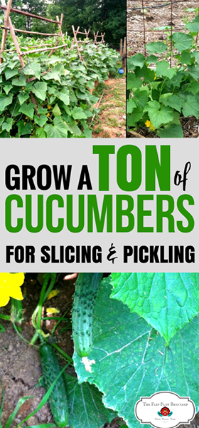 How to grow cucumbers in your garden. Growing cucumbers is very easy. Cucumbers are on my easy to grow vegetables list. Cucumbers are a great addition to any backyard or homestead garden!