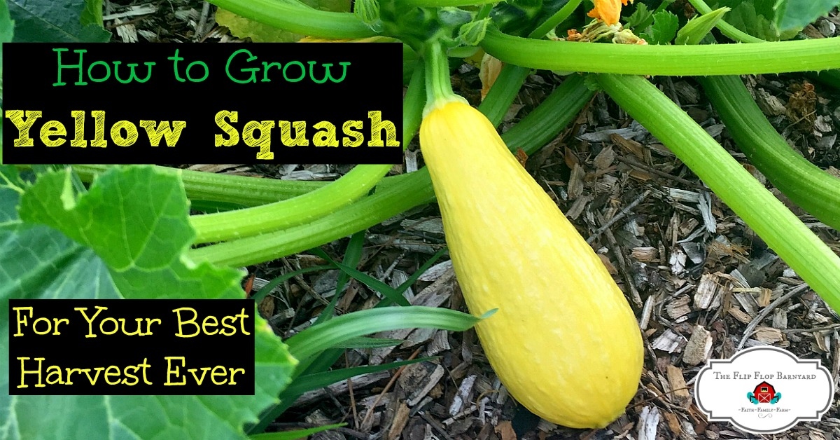 How to Grow Yellow Squash For Your Best Harvest Ever
