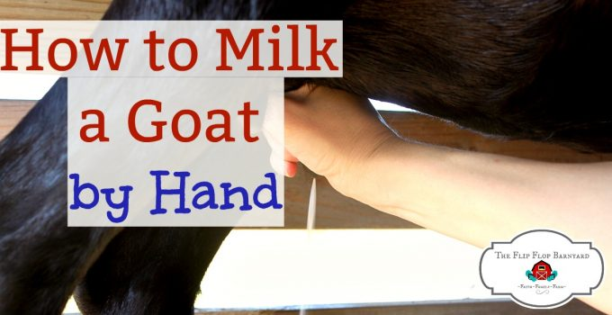 Learning how to milk a goat by hand isn't hard. Once you've been hand milking for a while it will be a breeze. You'll be so glad to have a dairy goat to milk on your homestead!