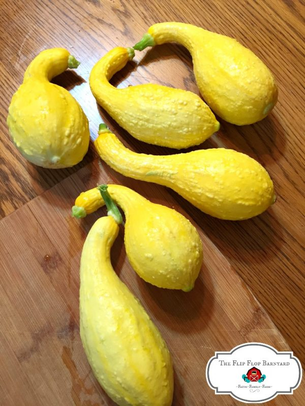 Yellow squash are easy to grow. They are a prolific garden vegetable. They definitely make my easy to grow vegetable list!