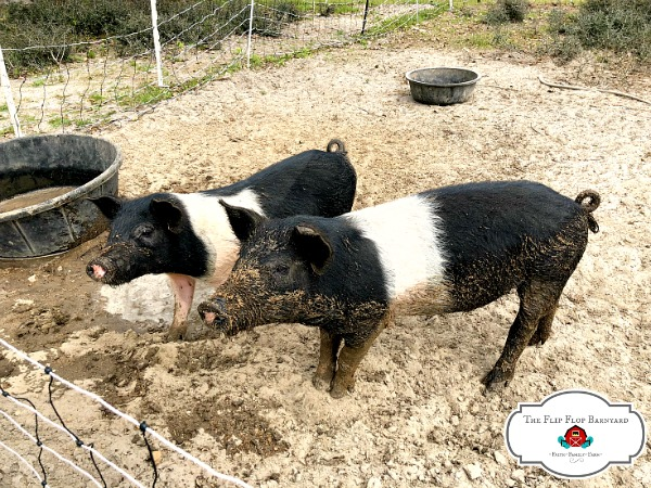 Pigs in a pasture based pen setting