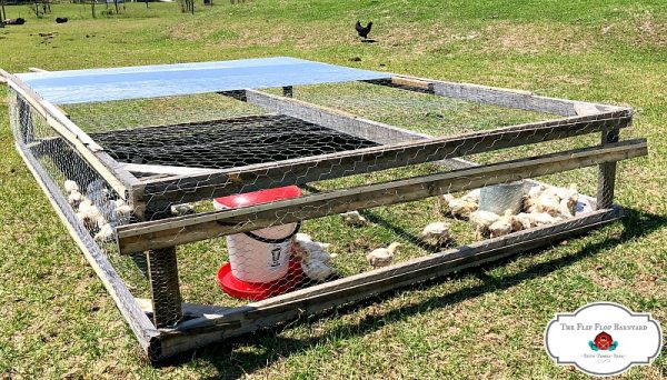 Pastured broilers in a chicken tractor