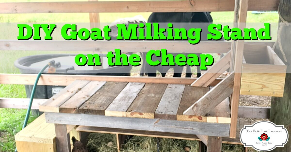 a featured photo of a DIY Goat milking stand.
