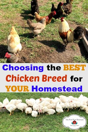 "A photo collage of chickens with the words ""Choosing the BEST Chicken Breed For Your Homestead"" on it"