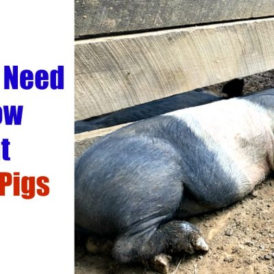 Picture of a black and white pig laying in mud