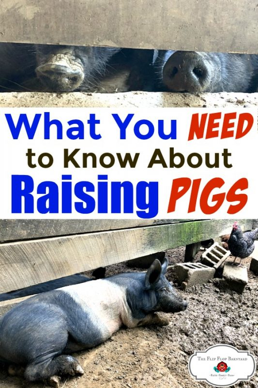 picture of pig noses and a pig laying in the mud