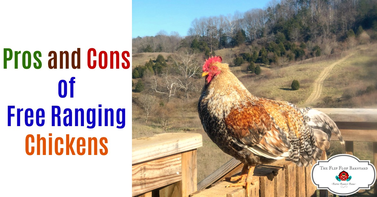 Pros and Cons of Free Ranging Chicken