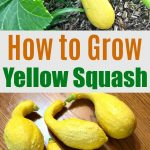 a photo of yellow squash on the vine and on a table