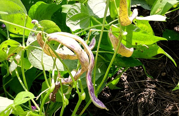dragon tongue beans hanging on a plant