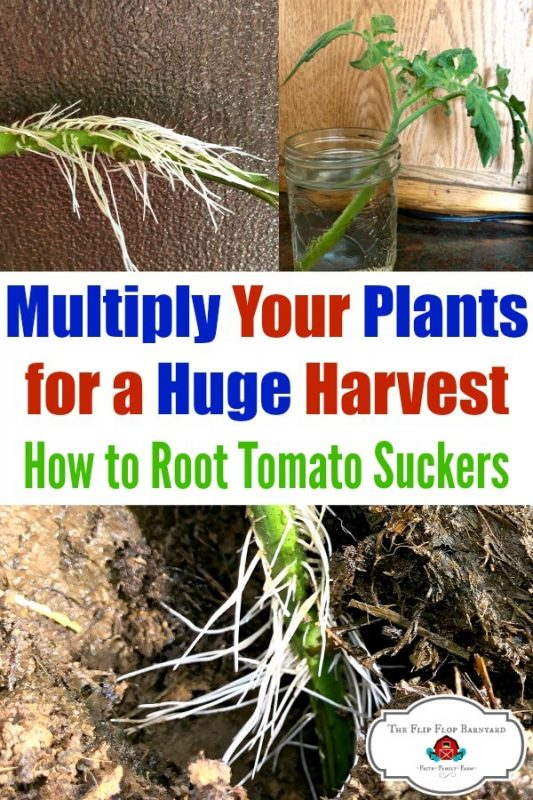 A photo of tomato plants pruned and growing new roots
