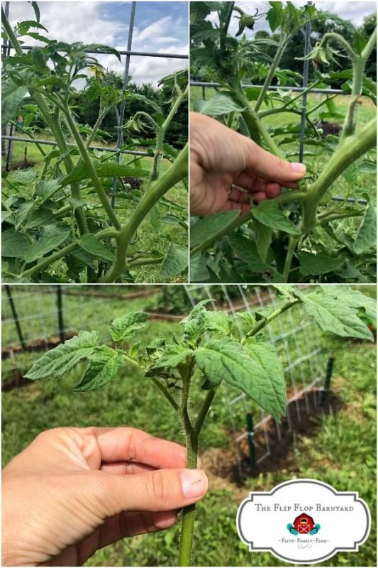 photo collage of a tomato plant being pruned
