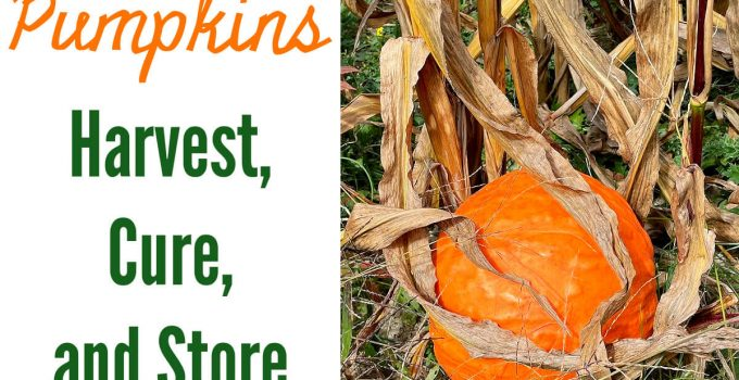 """Photo of a pumpkin in dried corn stalks with the caption """"Pumpkins Harvest, cure, and store"""""""